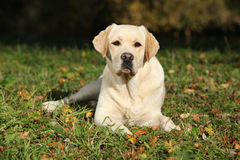 Beautiful labrador retriever lying Stock Photo