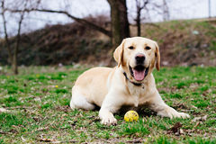 Beautiful labrador retriever in the park Stock Photography