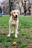 Beautiful labrador retriever in the park Royalty Free Stock Image