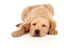 Beautiful Labrador retriever puppy Royalty Free Stock Images