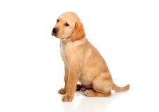 Beautiful Labrador retriever puppy Stock Image