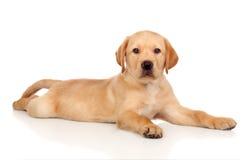 Beautiful Labrador retriever puppy Stock Photography