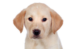 Beautiful Labrador retriever puppy Stock Images