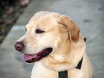 Beautiful Labrador retriever Royalty Free Stock Photo