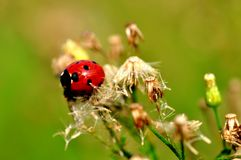 Seven-spotted ladybug Royalty Free Stock Image