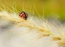 Beautiful Lady Bug. On extreme Macro Royalty Free Stock Photos