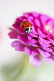 Beautiful ladybird on flower Royalty Free Stock Photos