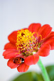 Beautiful ladybird on  flower Royalty Free Stock Photography
