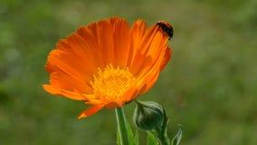 Beautiful ladybird ladybug on calendula marigold flower stock footage