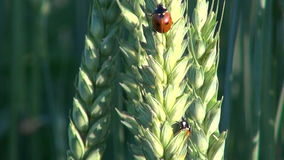 Beautiful ladybird ladybugs on wheat ears stock video