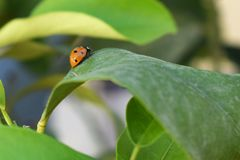 Beautiful Ladybird on a leaf. Coccinellidae /ˌkɒksɪˈnɛlɪdiː/[3] is a widespread family of small beetles ranging in size from 0.8 to 18 mm 0.03 to 0.71 stock photo