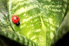 Beautiful ladybird on the leaf ficus Stock Image