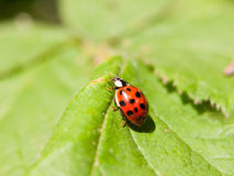 A beautiful ladybird walking across a leaf outside macro close u royalty free stock photography