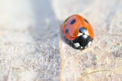 A beautiful Ladybird on Withered leaf Stock Photo