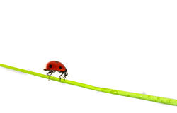 Beautiful ladybug Royalty Free Stock Photo