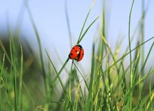 Beautiful Ladybug Creeps On A Sunny Summer Meadow Stock Photos