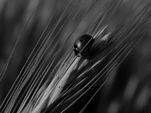 Beautiful ladybug on grass in black and white image Stock Images