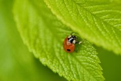 Beautiful ladybug on a green leaf view Royalty Free Stock Images