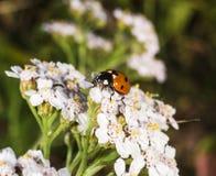 Beautiful ladybug macro Royalty Free Stock Photography