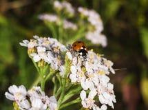 Beautiful ladybug macro Stock Image