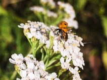 Beautiful ladybug macro Stock Photo