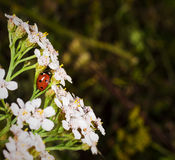 Beautiful ladybug macro Stock Photos