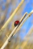Beautiful ladybug Royalty Free Stock Images