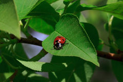 Beautiful ladybug sits on a green leaf of a tree. . Beautiful ladybug sits on a green leaf of a tree. Animals in wildlife Stock Photo