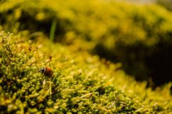 Beautiful ladybug sitting on fresh green moss. Red seven-spot ladybug on moss in forrest stock photo
