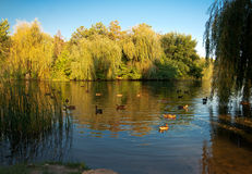 Beautiful lake with ducks at sunny summer day Stock Photography