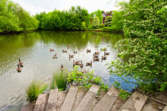 Beautiful lake with geese Stock Images