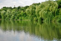 Beautiful lake with green trees whose branches fall into the water royalty free stock photo
