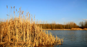 Fancsika lake with reeds Stock Photography