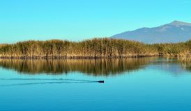 Beautiful lake scape and one coot. A beautiful lake scape with reeds and a coot in the small Prespa lake in Greece early in winter royalty free stock photo