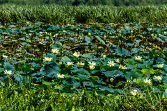 A Beautiful Lake of Yellow Lotus Wildflowers Stock Images