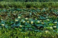 A Beautiful Lake of Yellow Lotus Wildflowers Stock Images
