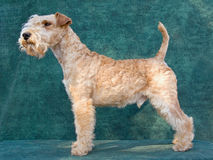 Beautiful Lakeland Terrier Royalty Free Stock Photo