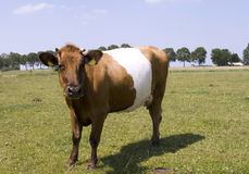 Beautiful Lakenvelder cow stock image