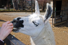 Beautiful lama Royalty Free Stock Photos