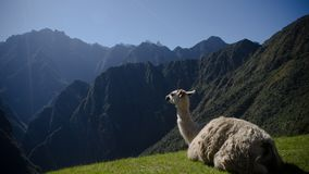A beautiful lama from the Machu Pichu stock image