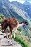 beautiful lama on the path stock image