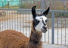 Beautiful lama portrait Royalty Free Stock Photo
