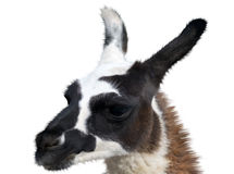 Beautiful lama portrait Royalty Free Stock Images
