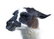 Beautiful lama portrait Stock Images