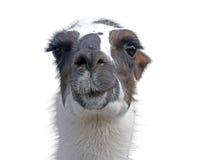 Beautiful lama portrait Royalty Free Stock Photography