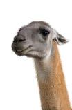 Beautiful lama portrait Royalty Free Stock Photos