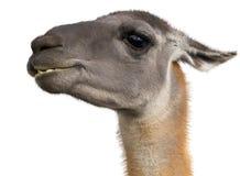 Beautiful lama portrait Royalty Free Stock Images