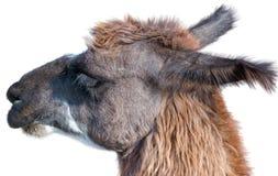 Beautiful lama portrait Stock Photos