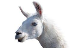 Beautiful lama portrait Royalty Free Stock Image