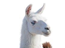 Beautiful lama portrait Stock Photo